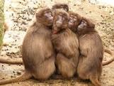 group of primates